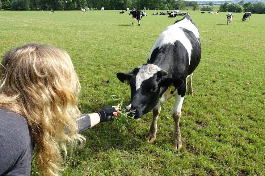 Kuh wird gefüttert