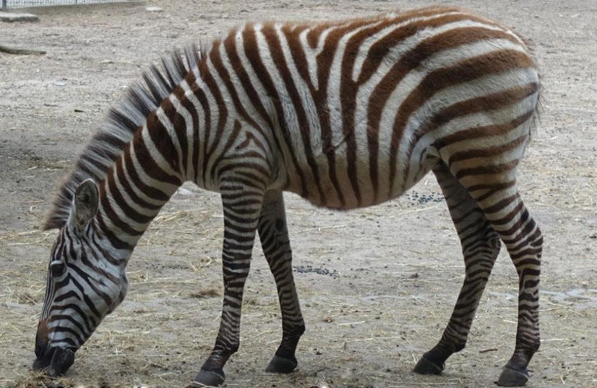 zebra-ueckermuende-tierpark